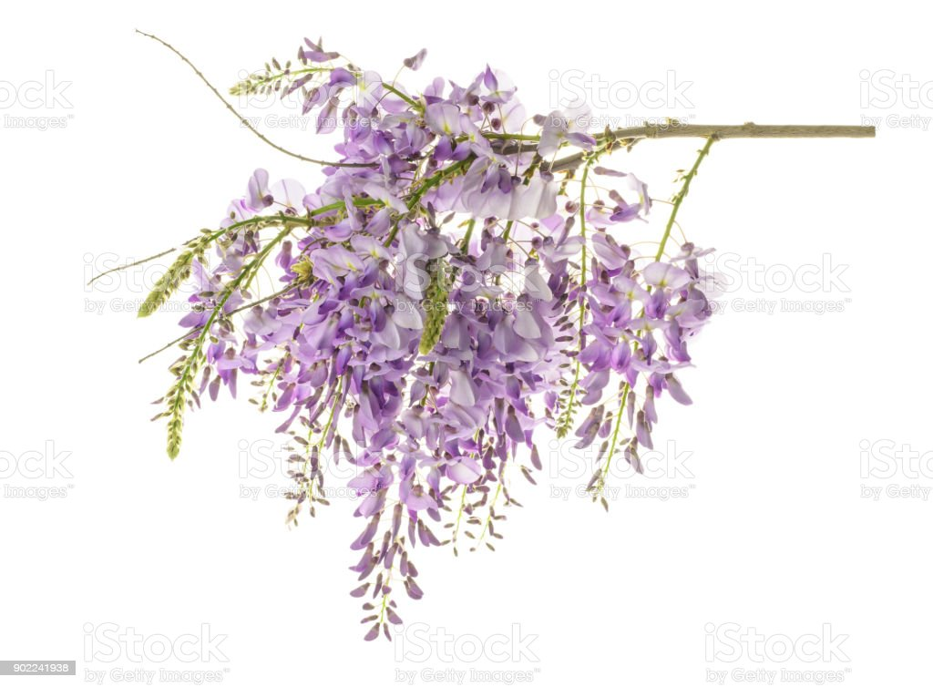 wisteria flowers isolated stock photo
