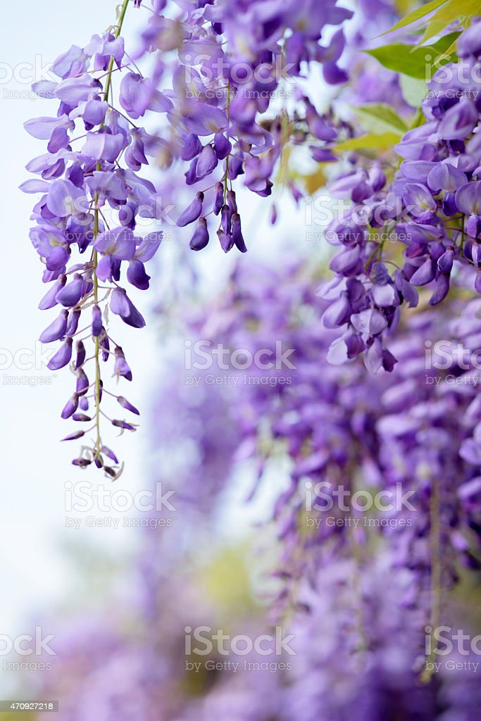 wisteria flowers, stock photo