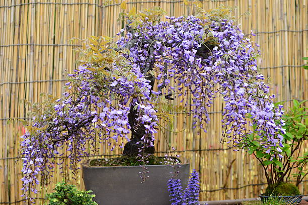 11 Wisteria Bonsai Tree Stock Photos Pictures Royalty Free Images Istock