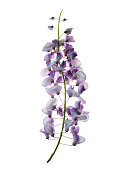 Flowering wisteria plants on house wall background natural home decoration with flowers