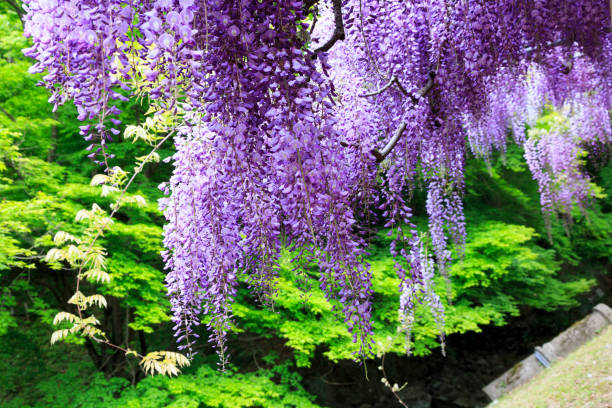 Royalty Free Wisteria Tunnel Pictures, Images and Stock Photos - iStock