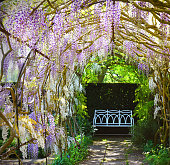 Old wooden french doors with climbing wisteria hanging on the wall