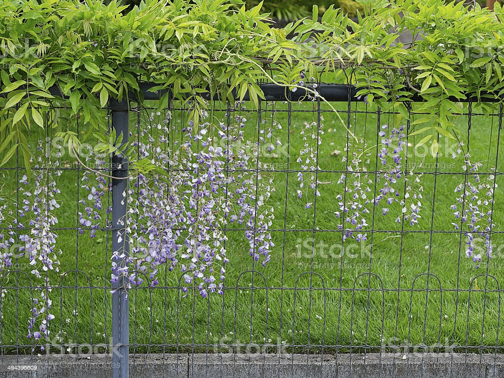 Wisteria Growing On A Vintage Wire Fence Stock Photo & More Pictures ...