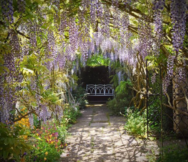 wisteria in garden - blauregen stock-fotos und bilder
