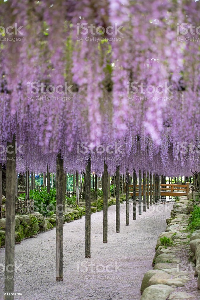 Wisteria in perspective stock photo