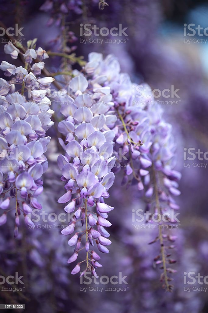 Wisteria in Rome, Italy stock photo