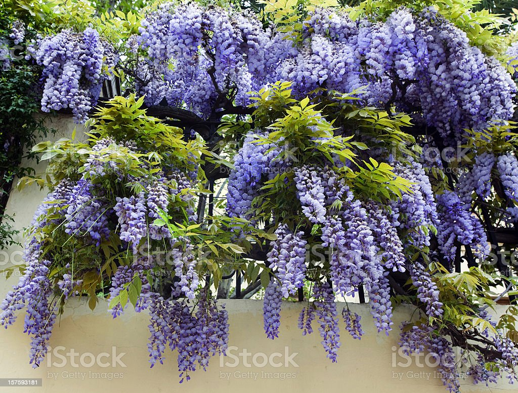 Wisteria in Spring stock photo