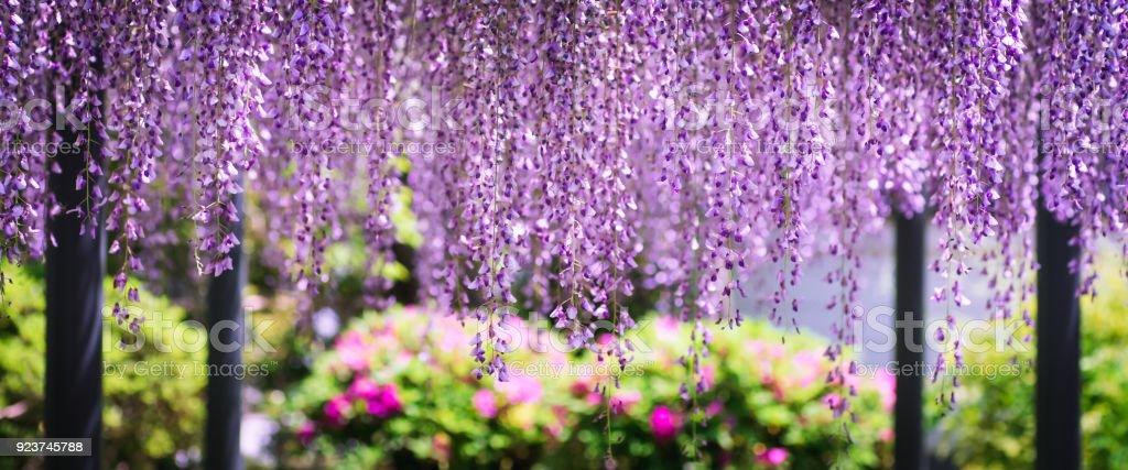 Wisteria in spring season, shot in Uji City, Kyoto, Japan. stock photo