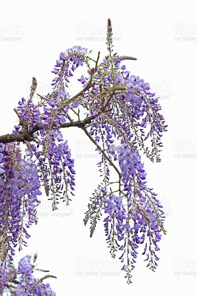 Wisteria isolated on white stock photo