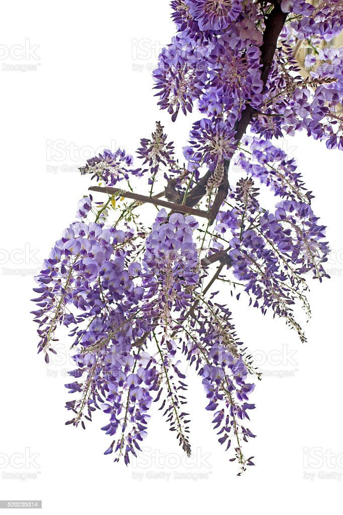 Wisteria isolated on white view from below stock photo