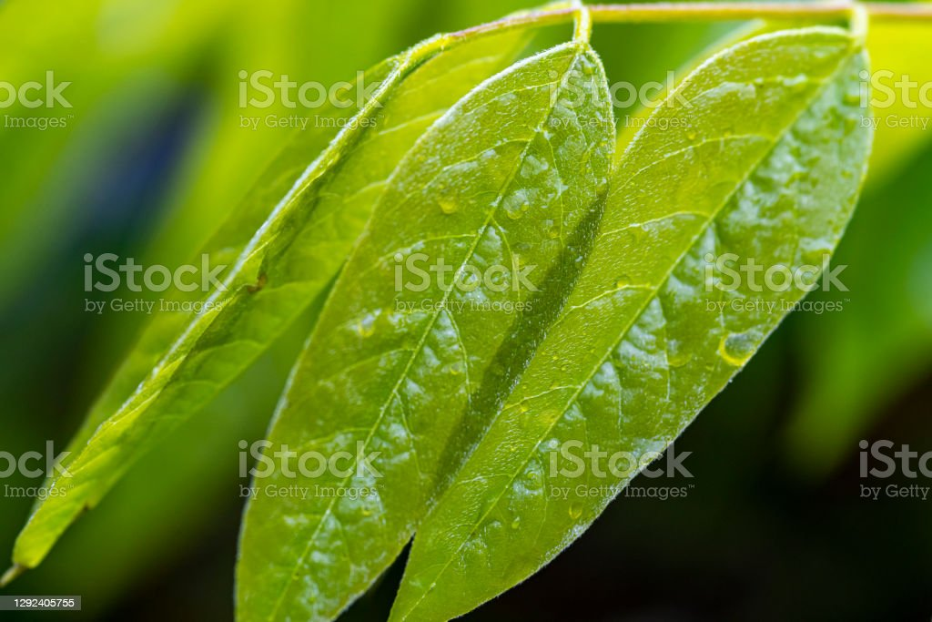 Wisteria leaves in springtime Wisteria leaves in springtime in an English country garden with rain droplets on the leaves. 2020 Stock Photo