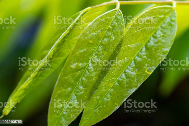 Wisteria Leaves In Springtime Stock Photo - Download Image Now