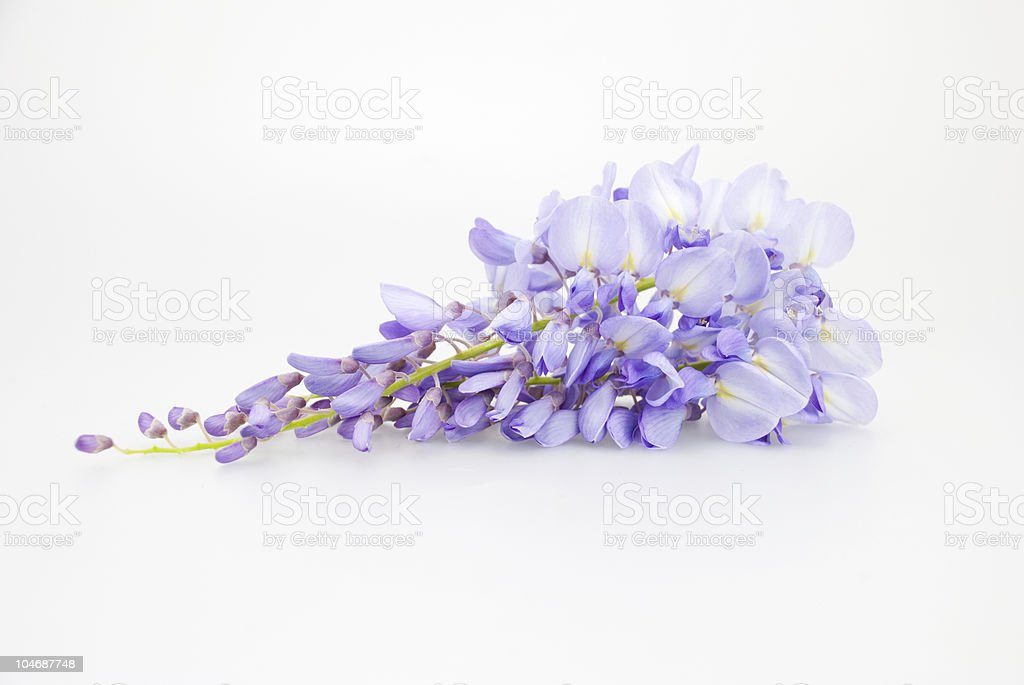 Wisteria on white stock photo