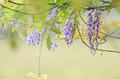 purple wisteria blooming near the river