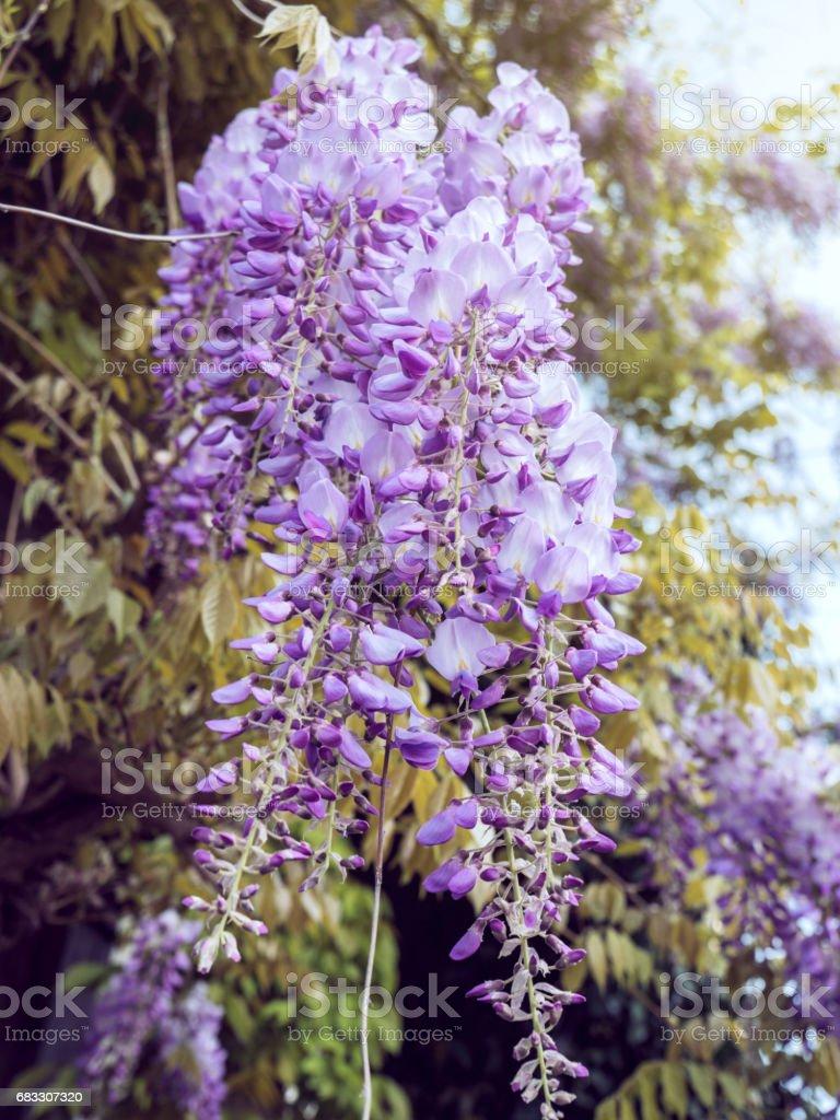 Wisteria plant closeup royaltyfri bildbanksbilder