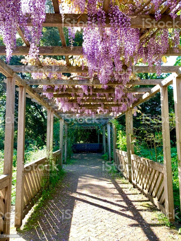 Istock Wisteria Plant Hanging On A Wooden Pergola, Taken In An English  Garden 1149053869