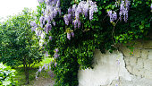Wisteria plant with Flowers in a Garden
