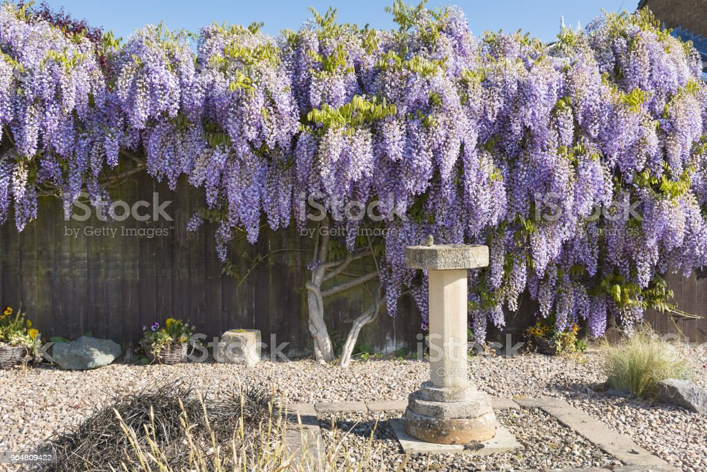 Wisteria shrub in full flower in springtime covering and hiding a garden fence. royalty-free stock photo