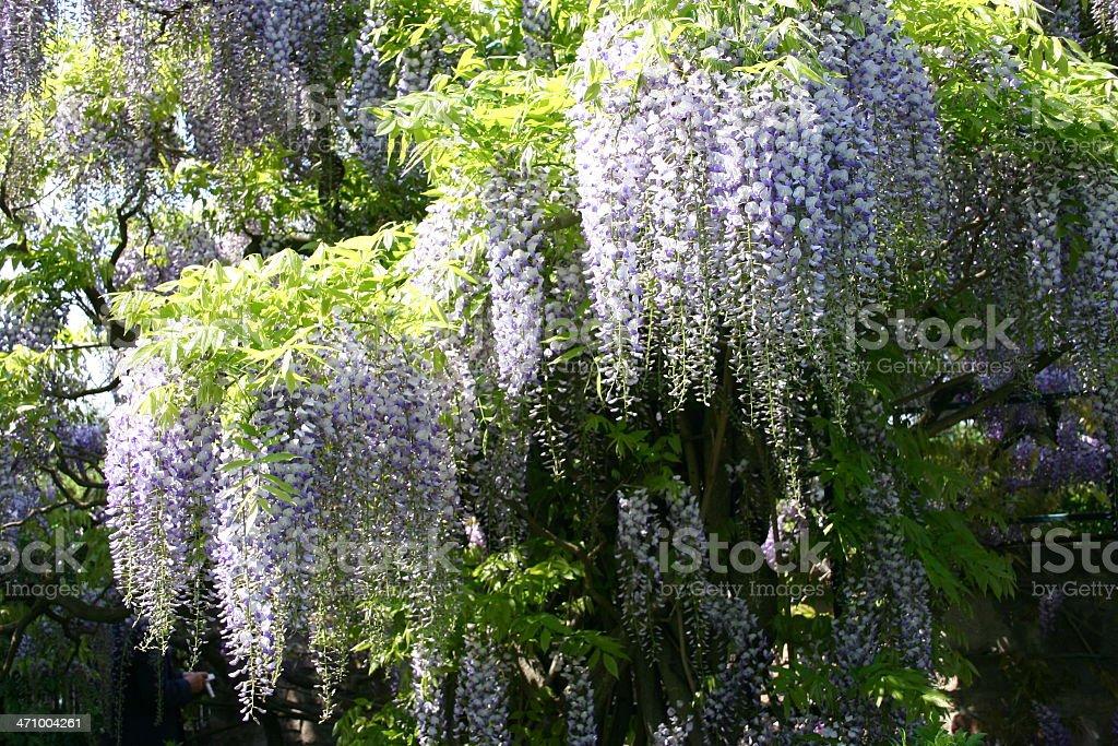 Wisteria sinensis 7 royalty-free stock photo