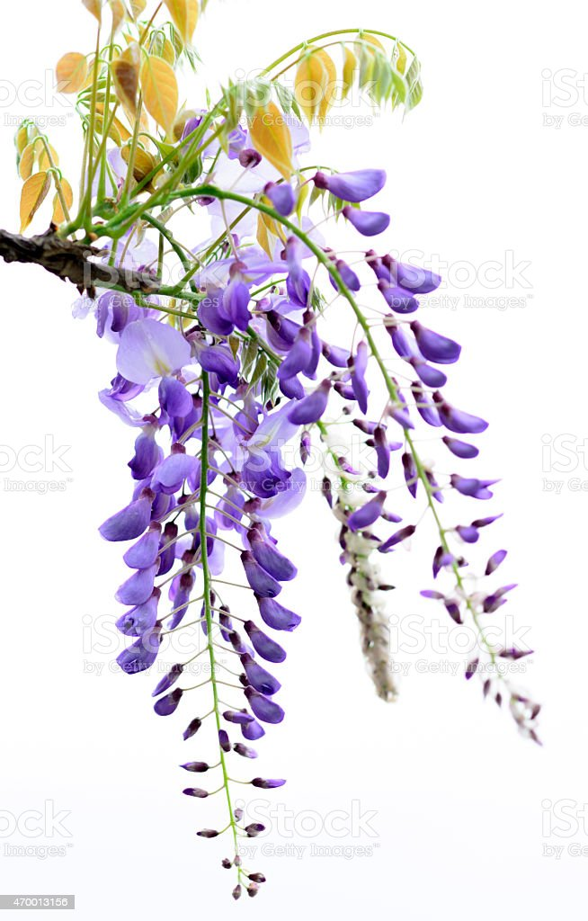 Wisteria tree branch with beautiful flowers stock photo