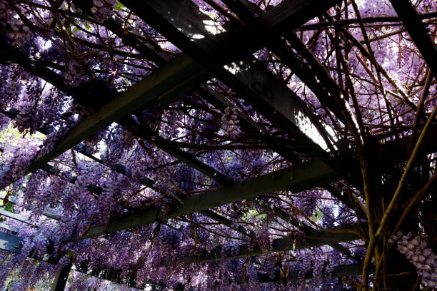 Wisteria Tree in Bloom Across a Pergola and Proving Shadewith stock photo
