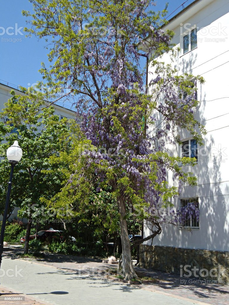 Wisteria tree in bloom near a building on the sidewalk. Light violet flowers & green young leaves on a street tree. stock photo