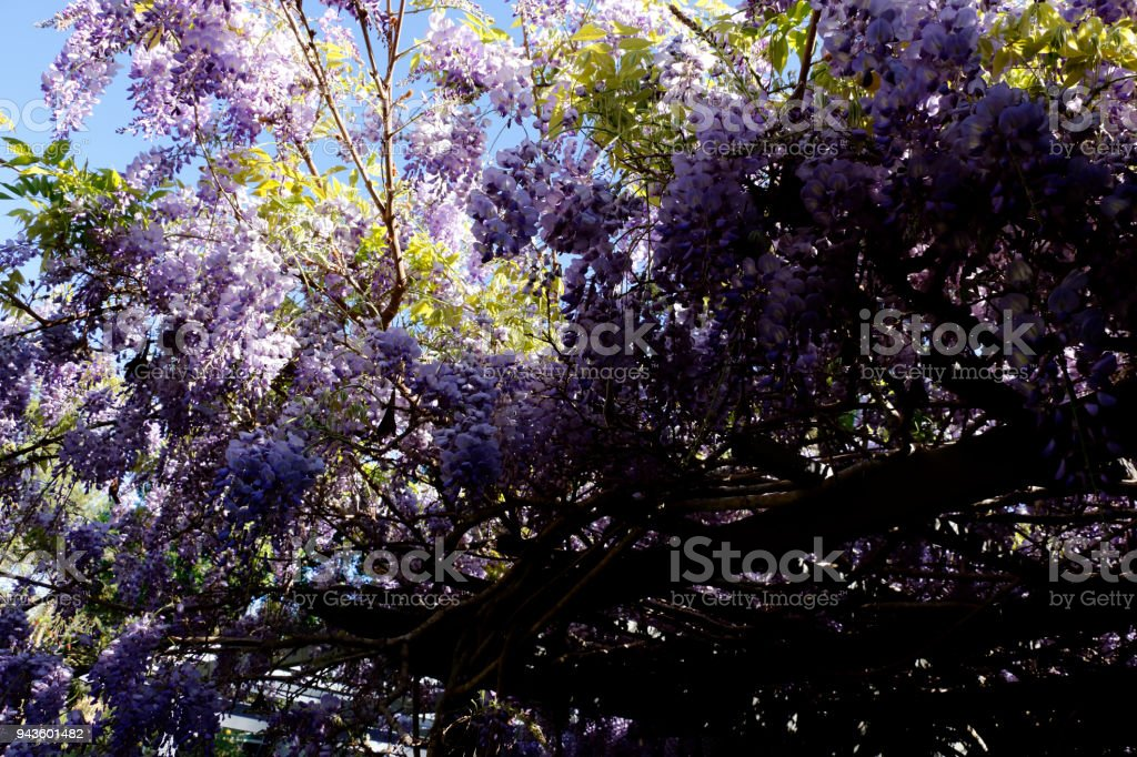 Wisteria Tree in Bloom with New Growth Needing Prune stock photo