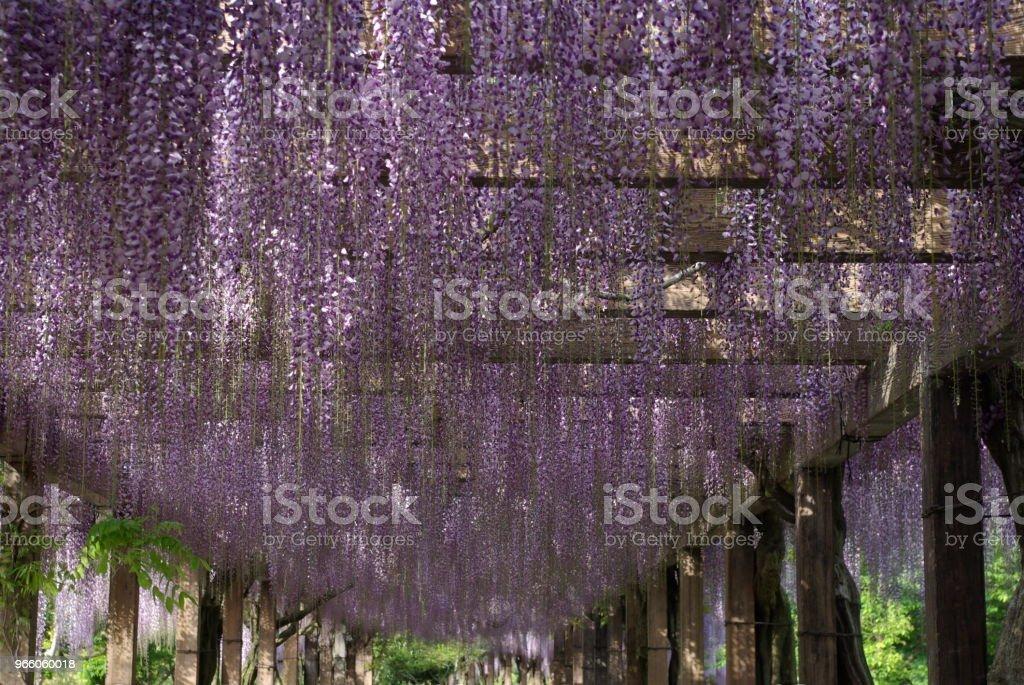 Wisteria spaljé i Omishima wisteria park, Japan - Royaltyfri April Bildbanksbilder