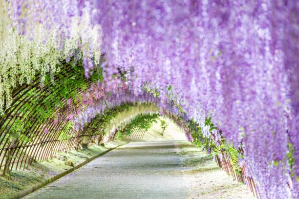 wisteria tunnel am kawachi fuji garden (fukuoka, japan) - blauregen stock-fotos und bilder