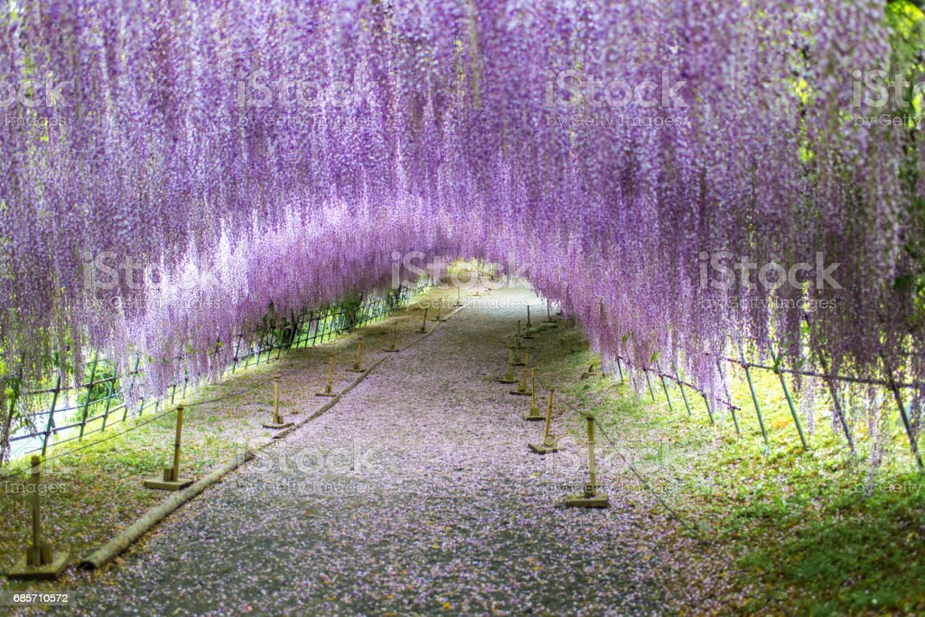 Wisteria Tunnel stock photo