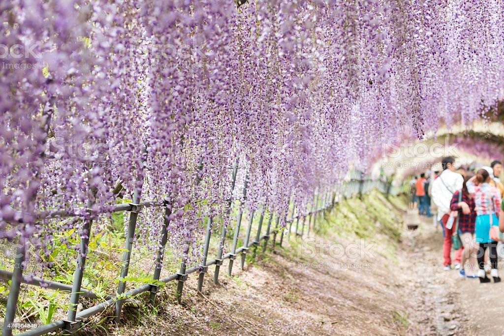 Wisteria tunnel, the fantastical world full of Wisteria flowers stock photo