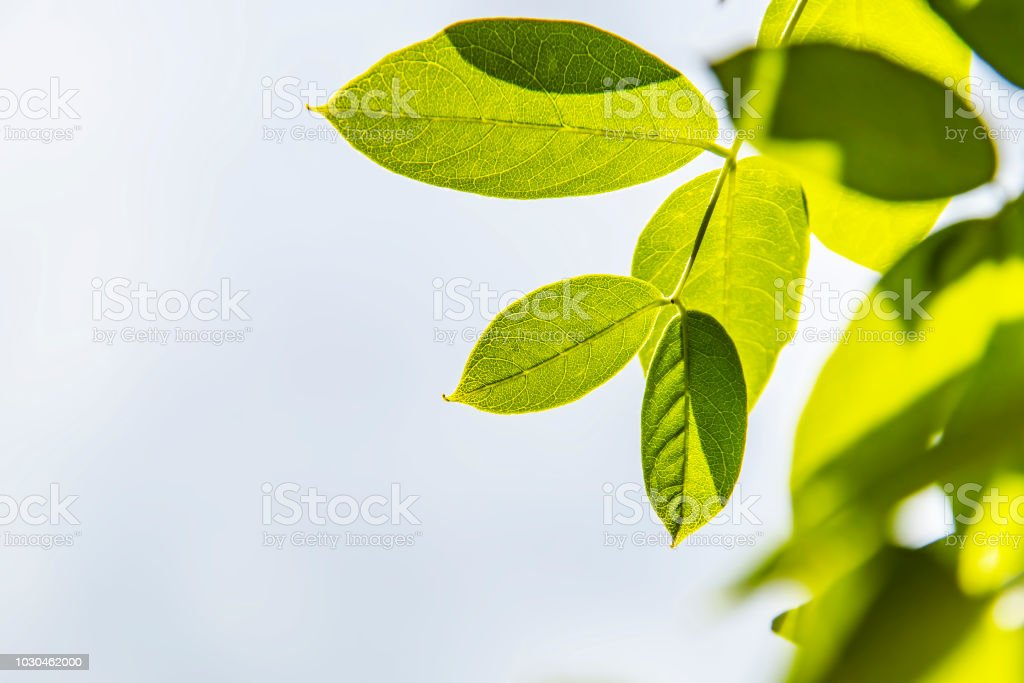 Wisteria Vine Leaves Isolated Against A Gray Background Selective