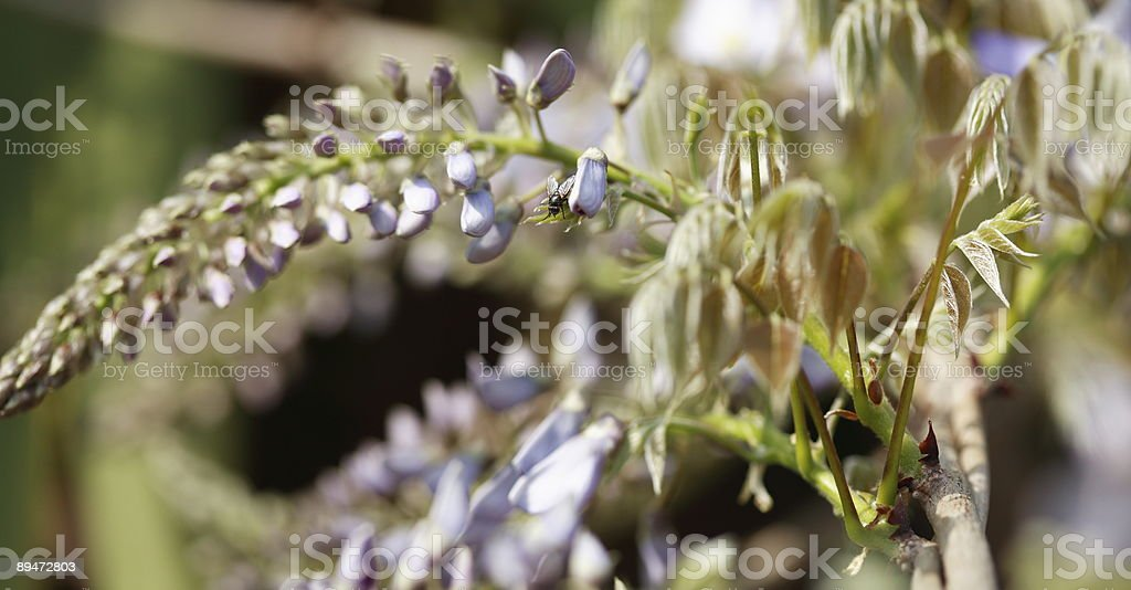 Wisteria with irridescent fly stock photo