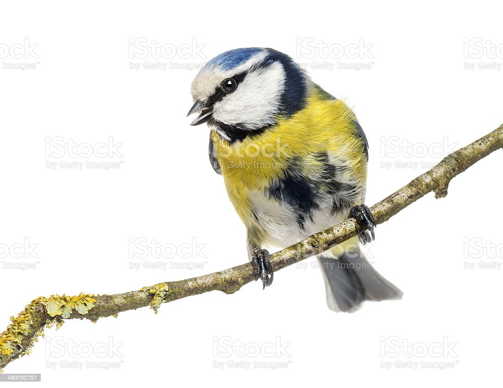 Wistling Blue Tit perched on a branch, Cyanistes caeruleus stock photo