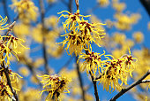 Close up of yellow witch hazel flowers in full bloom; early spring, winter