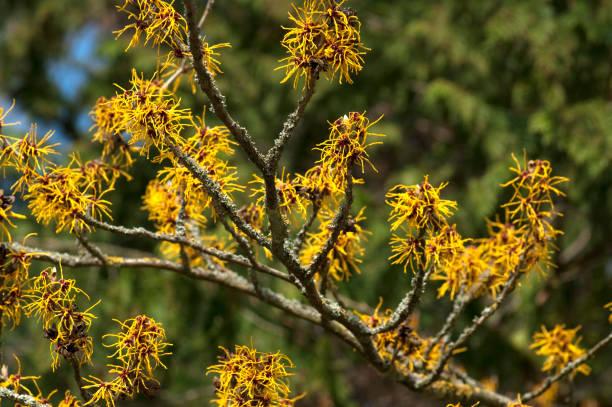 Witch hazel; Hamamelis; Witch hazel; Hamamelis; saxifragales stock pictures, royalty-free photos & images