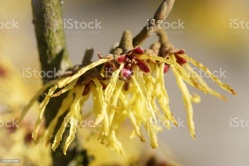 Witch Hazel Hybride, Hamamelis intermedia stock photo