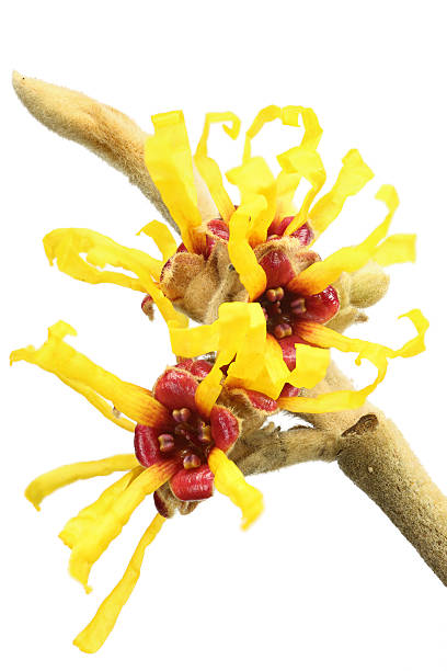 witch hazel (hamamelis virginiana) isolated on white  saxifragales stock pictures, royalty-free photos & images