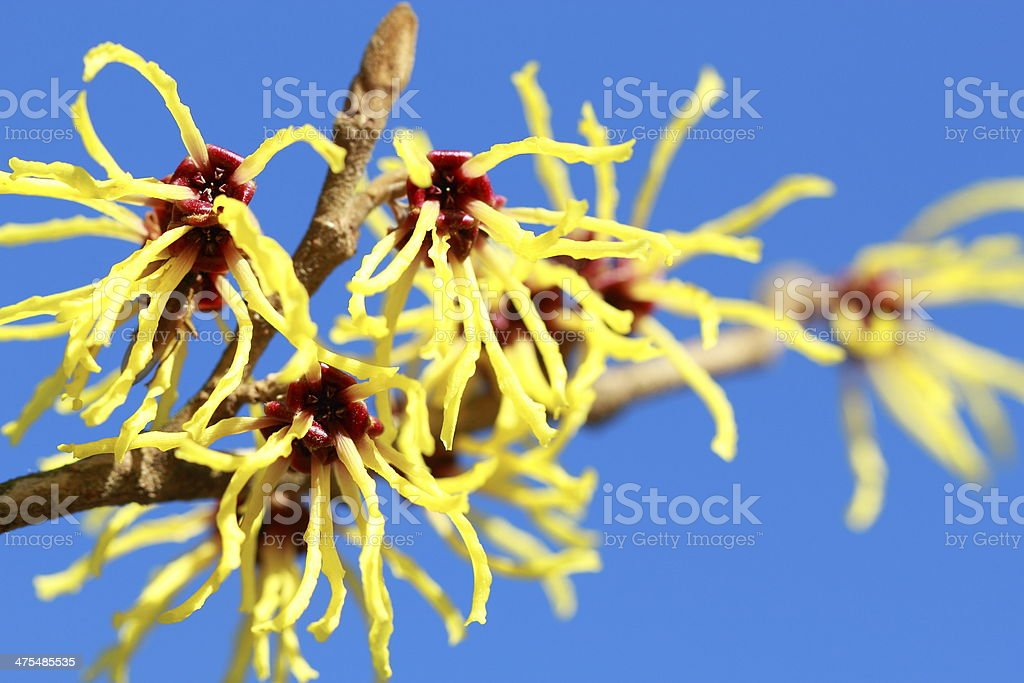 Hamamelis mollis 'Pallida' stock photo