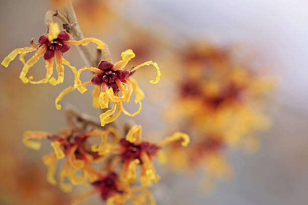 witch hazel witch hazel (hamamelis virginiana) saxifragales stock pictures, royalty-free photos & images
