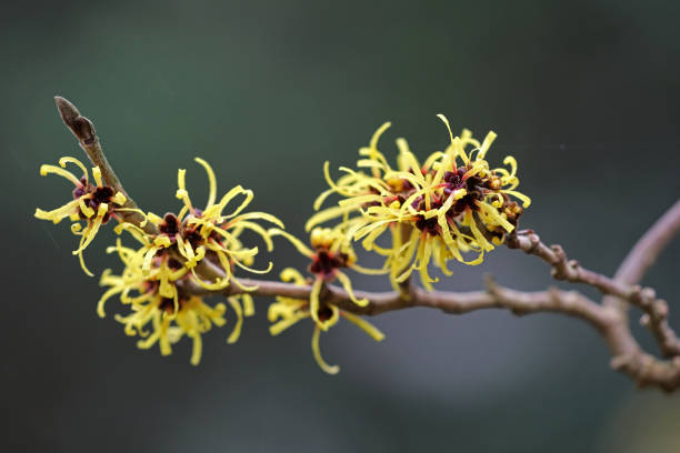 Witch hazel Witch hazel saxifragales stock pictures, royalty-free photos & images
