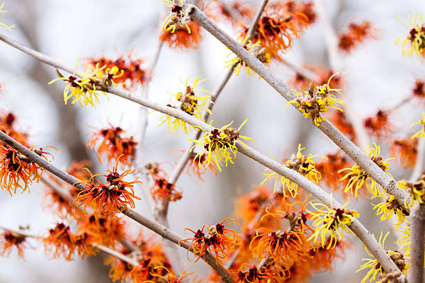 Witchhazel stock photo