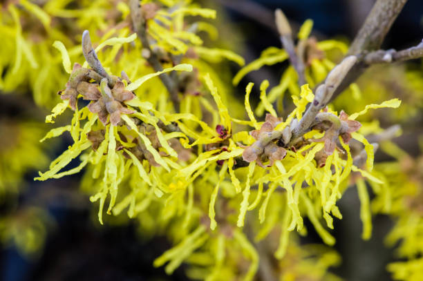 Witch-hazel shrub in bloom Hamamelis or Witch-hazel blooms very early in spring or late winter saxifragales stock pictures, royalty-free photos & images