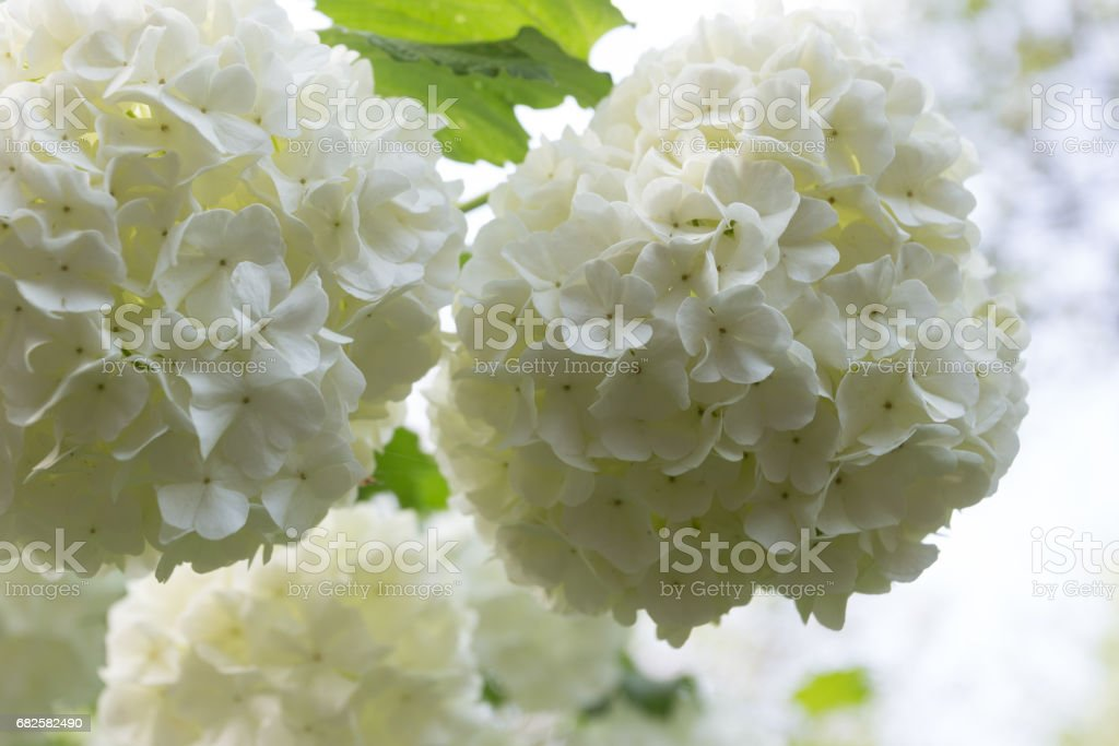 Wite flowers of Viburnum stock photo