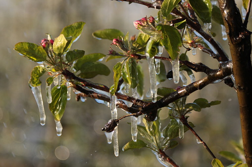 With an ice layer prevent the fruit blossom from freezing.