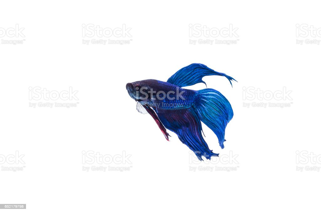 SIAMESE FIGHTING FISH with blackness. Isolated white background stock photo