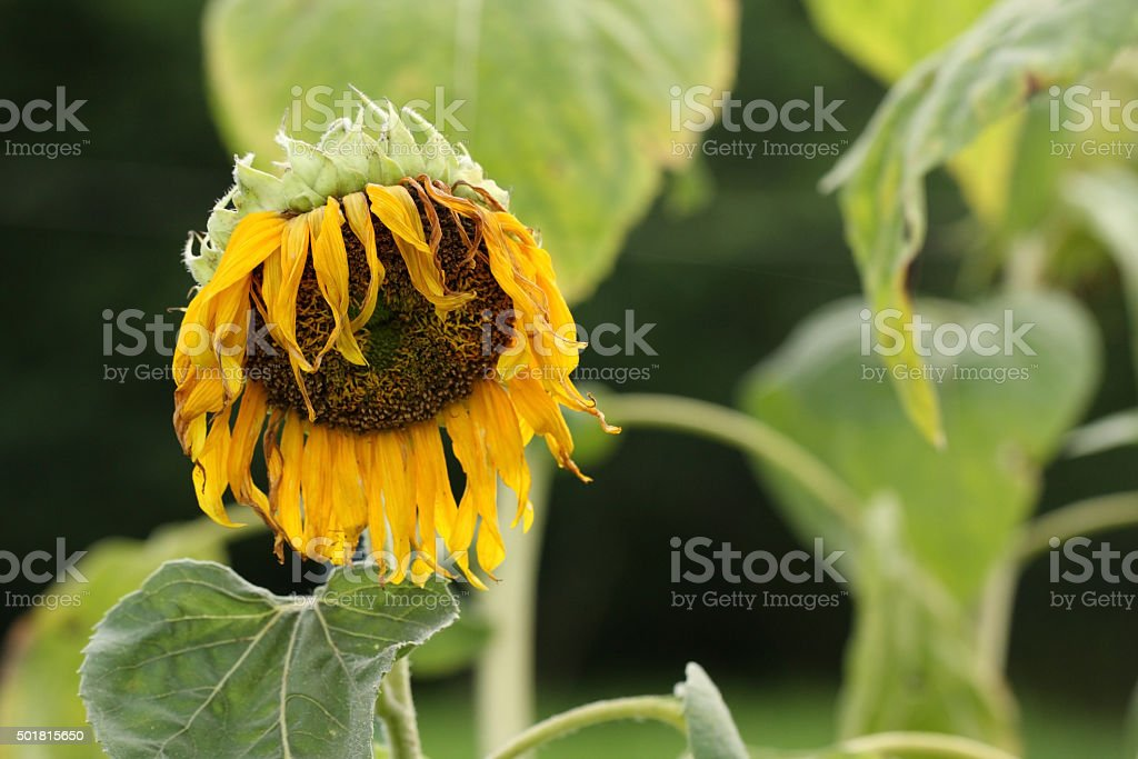 Wither sunflower. stock photo