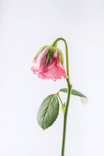 withered beautiful pink rose isolated on white background stock photo