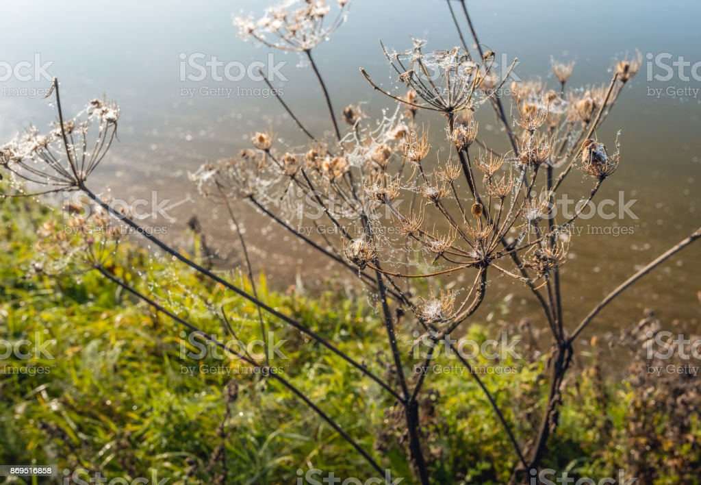 Withered cow parsley with cobwebs and dew droplets at dawn stock photo