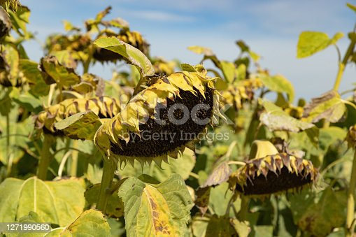 withered dead yellow-green sunflowers without seeds on an autumn day in front of a blue sky, unfortunately the beauty has an end